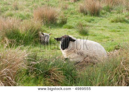 Suffolk Sheep In Marshland