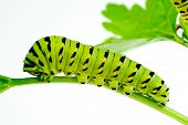 picture of larva  - A bright green black swallowtail caterpillar sitting on a celery leaf