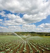 stock photo of water cabbage  - irrigation of young cabbage field agriculture background - JPG