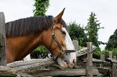 pic of workhorses  - Large horse with head leaning over fence - JPG