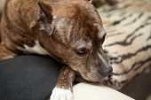 pic of staffordshire-terrier  - Staffordshire Terrier at home on the couch sadness - JPG