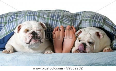 two english bulldogs in bed with owner