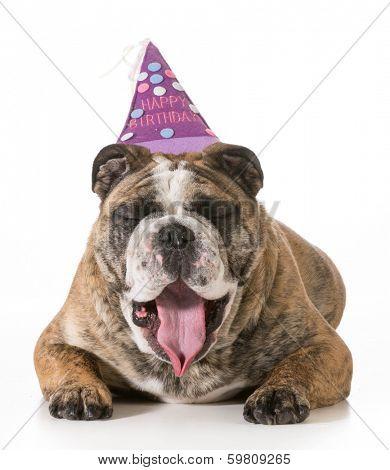 birthday dog - english bulldog yawning wearing happy birthday hat - 2 year old brindle male