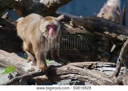 Macaque (snow) Monkey's In Soft Focus