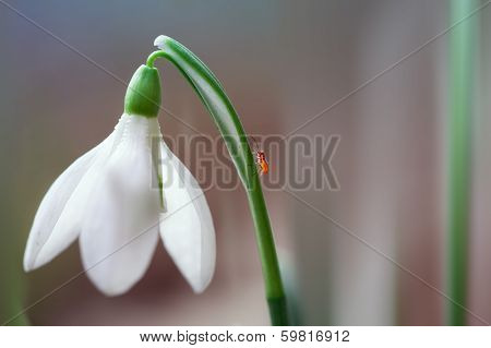 Fresh snowdrops in early spring