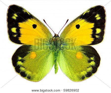 Dark Clouded Yellow (Colias croceus), female