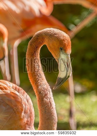 Greater male Flamingo grooming (Phoenicopterus ruber specie)