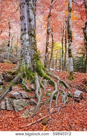Autumn beech fall forest in Pyrenees Valle de Ordesa Huesca Spain