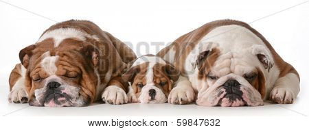 father son and grandson dogs - english bulldogs with three generations laying down side by side isolated on white background - father two years, son 10 weeks, grandfather 4 years