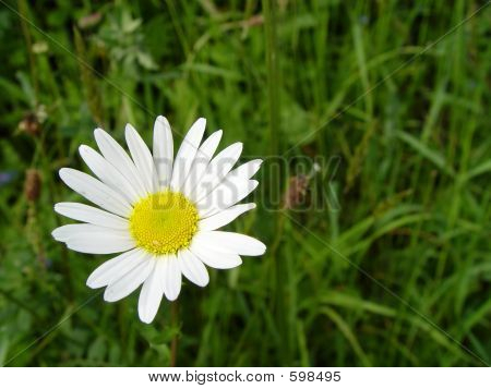 Fresh Spring Daisy