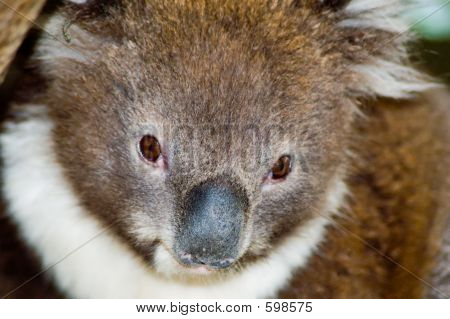 Young Koala Closeup