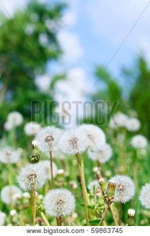 Dandelions And Sky