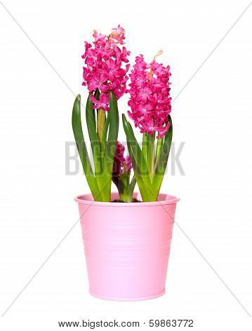Flower Hyacinth In A Pink Pot