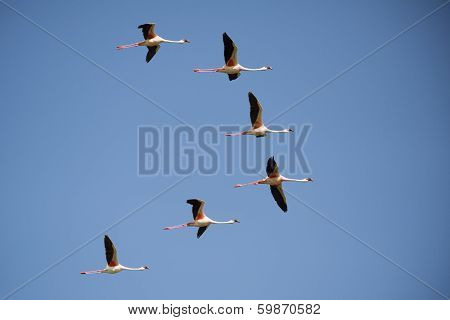 Lesser flamingo flying