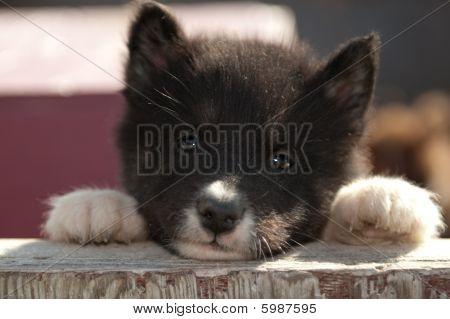 Sweet Canadian Eskimo Puppy in Churchill, Manitoba