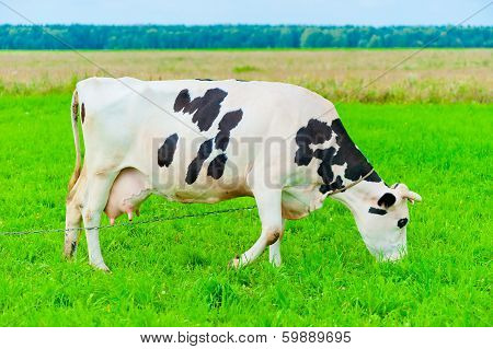 Cow On A Leash Eats Juicy Grass