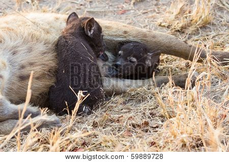 Hungry Hyena Pups Drinking Milk From Mother Suckle
