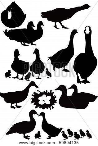 ducks birds