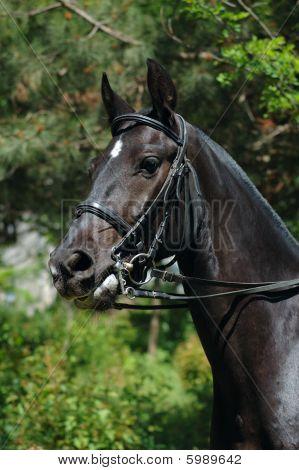 Dressage black horse