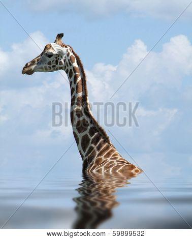 Sunken Rothschild Giraffe