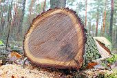 picture of beheaded  - stump of tree felled  - JPG