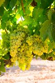 chardonnay Wine grapes in vineyard raw ready for harvest in Mediterranean