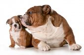 father and daughter dog - english bulldog family isolated on white background - 8 week old puppy