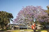 Purple Bloom of jacaranda tree in summer.