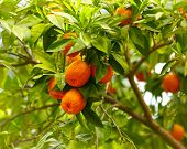 foto of tangerine-tree  - Branches with the fruits of the tangerine trees - JPG