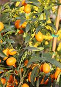 stock photo of clementine-orange  - hanging orange tree orange orchard in Sicily in italy