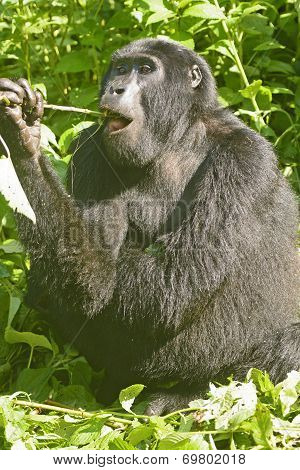 Young Mountain Gorilla Eating