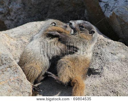Juvenile Hoary Marmots Wrestling