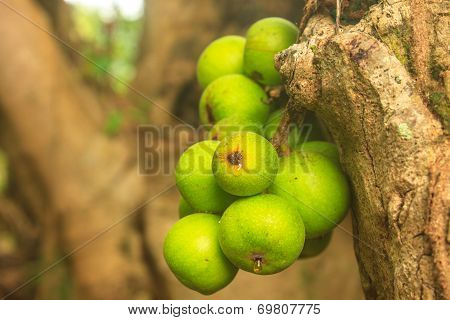 Ficus Fruits On The Tree