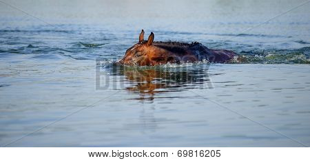 Brown horse floats in the pond, plunging into the water face in hot summer day