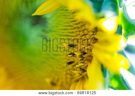 Small Florets Blooming In Sunflower