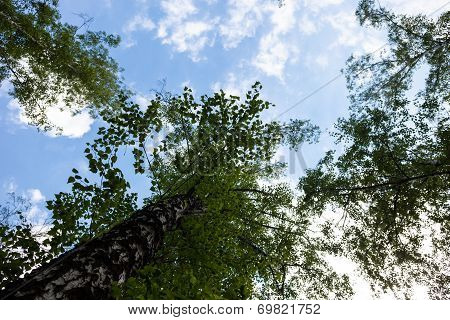 Silhouettes Of Green Birch Treetops