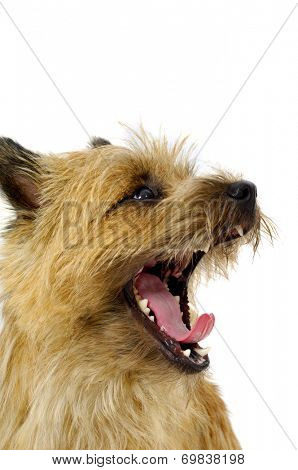 Face of sweet dog, taken on a white background. The breed of the dog is a Cairn Terrier.