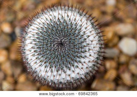 Cactus Whorl Pattern