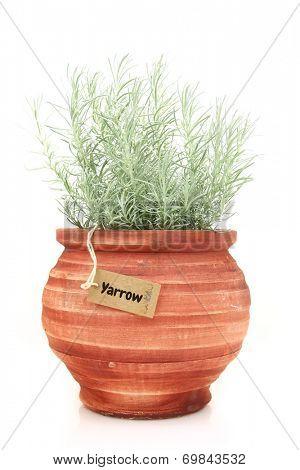 Fresh yarrow plant in a clay pot