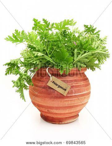 Fresh pelargonium plant in a clay pot