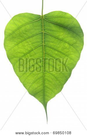 Banyan Tree Leaf