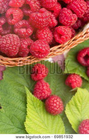 Sweet Organic Raspberries In A Basket