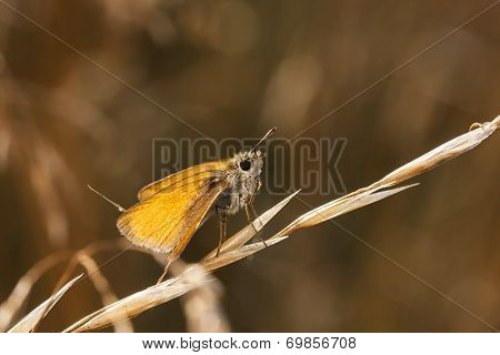 Little Orange Butterfly On A Hay Straw