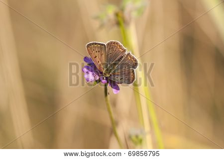 Butterfly With Dark Brownish Wings On A Flower Blossom