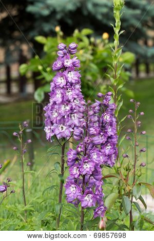 Close up of Purple Delphinium Flower in Garden