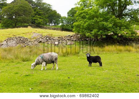 Black and white sheep and dry stone wall