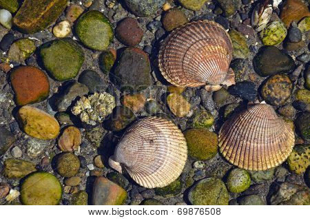Three Seashells In Water
