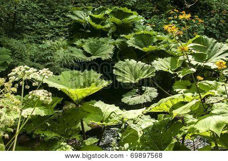 Giant butterbur leaves