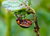 picture of potato bug  - colorado beetle on potato leaf - JPG