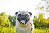 picture of pug  - Funny pug walking in a summer park at sunset - JPG